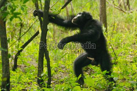 dyr pattedyr afrika horisontal udendore udendors