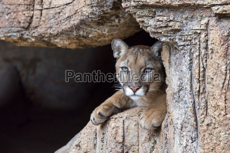 cougar kat panther huskat missekat mis