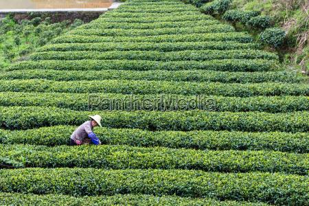 farmer on tea plantation in chengyang