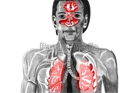 forkolelse illustration tegning foto anatomi mand