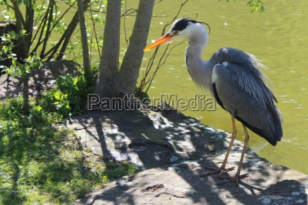 the grey heron is standing on