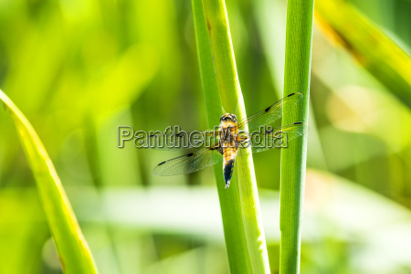 kvindelig closeup close up gren guldsmed