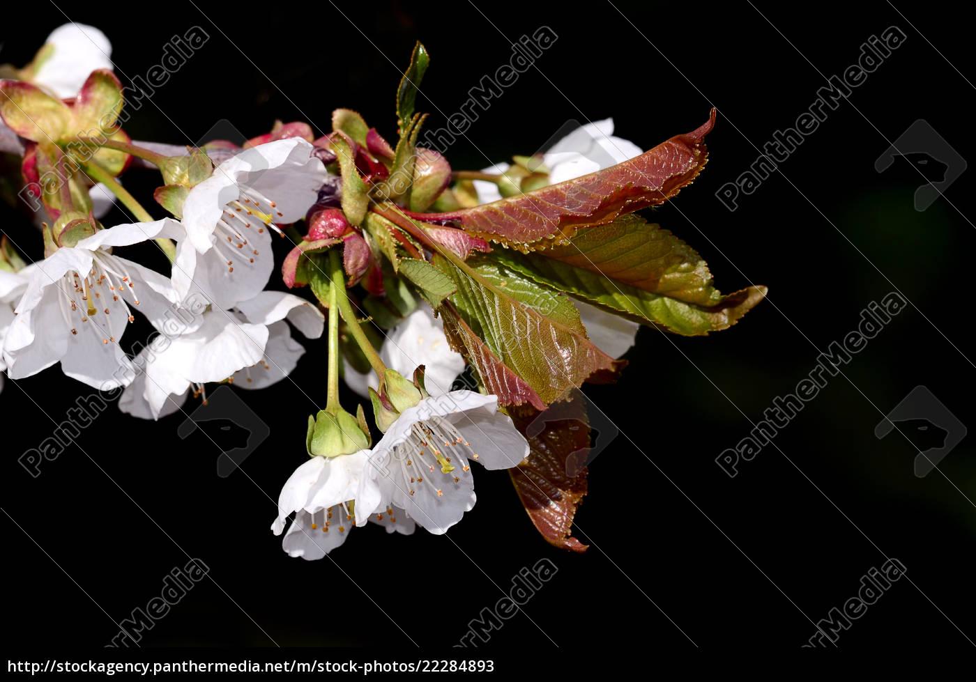 cherry, blossom - 22284893