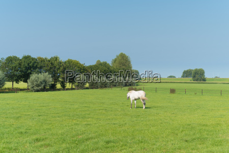 white horse in meadow