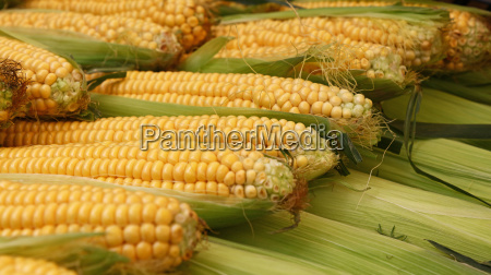 fresh corncobs close up in retail