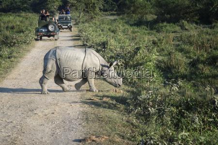 young indian rhinoceros rhinoceros unicornis crossing