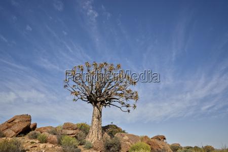 quiver tree kokerboom aloe dichotoma namakwa
