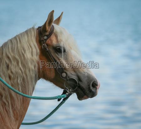 valgfri ride hest portraet skind hobby