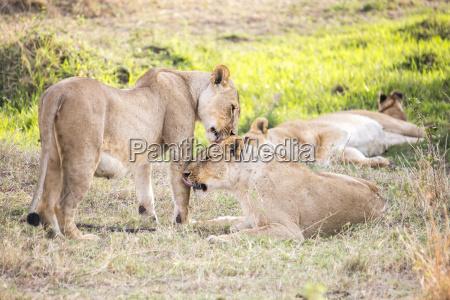 lionesses in maasai mara kenya