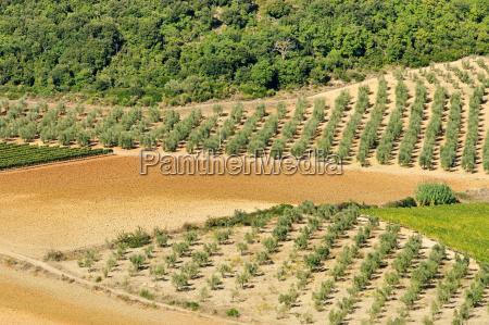 olivenhain olive grove 34