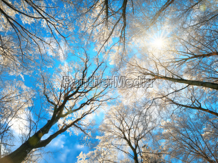 forest in winter with snowy tree