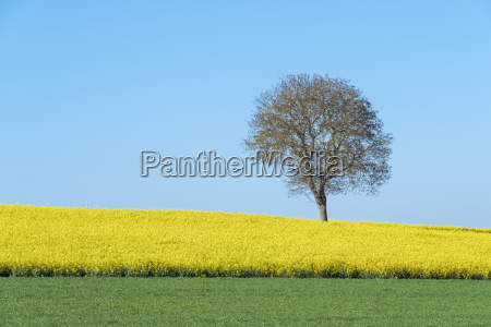 bare tree in yellow field of