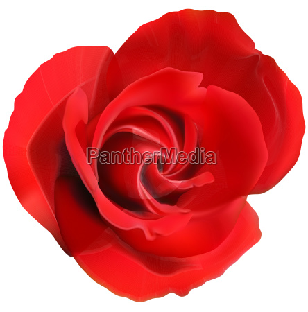 red rose flower isolated on a