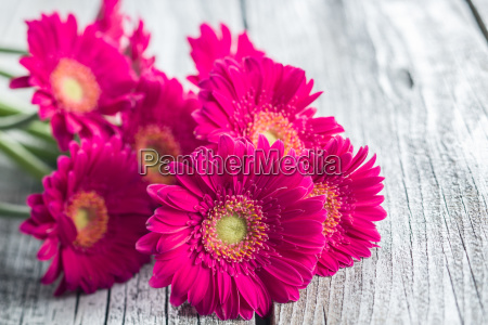 pink gerbera blomster