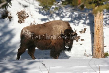 bison, om, vinteren - 23790442