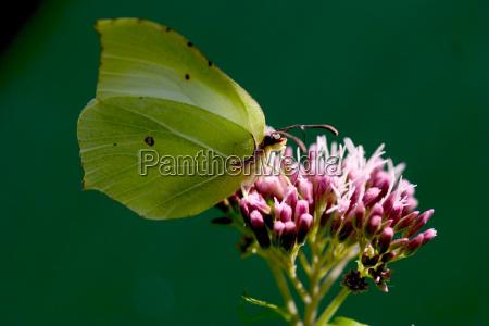 citron butterfly genepteryx rhamni