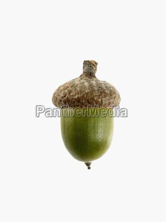 studie skud af acorn