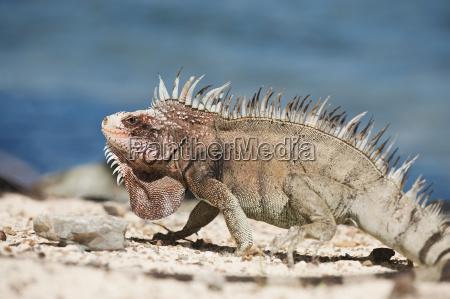 nærbillede, af, iguana - 24070740