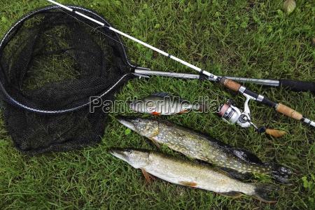 predator fiskeri