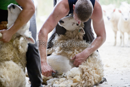 sheep shearers shearing sheep wool with