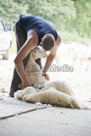 sheep shearer shearing sheep wool with