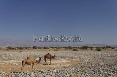 to dromedarer camelus dromedarius pa den