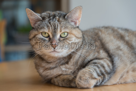 gray domestic cat lies at the