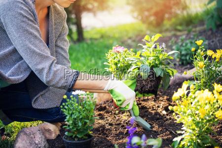 kvinde plantning sommer blomster i hjemmet
