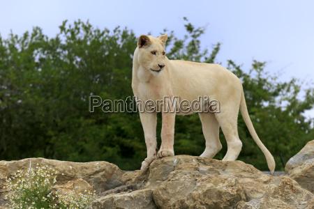 pattedyr fauna love kat sevaerdigheder rovkat