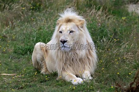 pattedyr fauna mandlig maskulin viril love