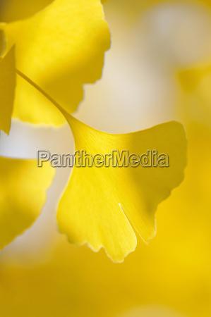 gingko ginkgo biloba ginkgoblade med gul