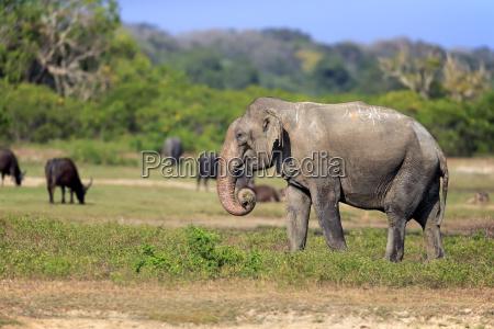 asiatischerelefants18906jpg