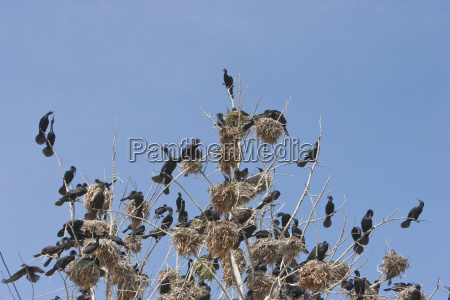 neotropic cormorants phalacrocorax brasilianus arica arica