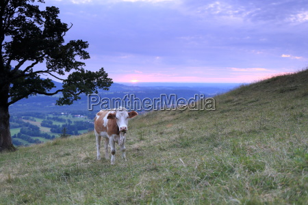 young cattle in the evening sun