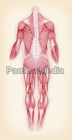 biomedical illustration of muscles in the