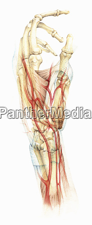 biomedical illustration the bones muscles and