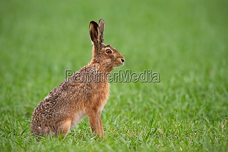 europaeisk brun hare lepus europaeus om