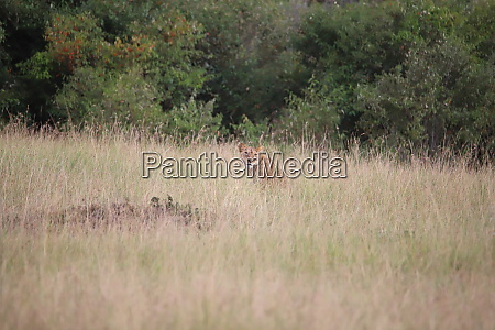 lions are well camouflaged in the