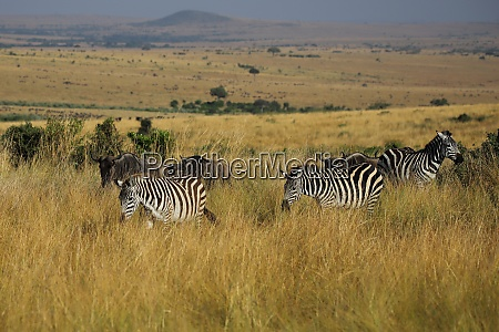 wandering, plains, zebras, in, the, masai - 26596851