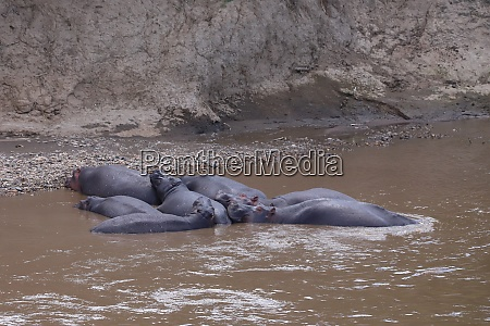 group of lying hippos in the