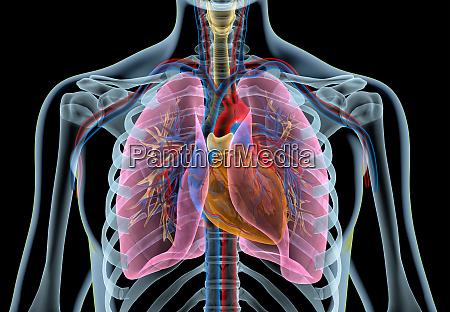 menneskeligt hjerte med kar lunger bronkial