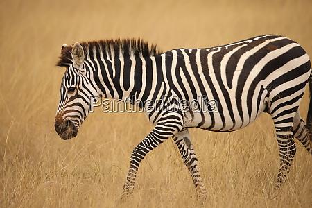 close up of a zebra in