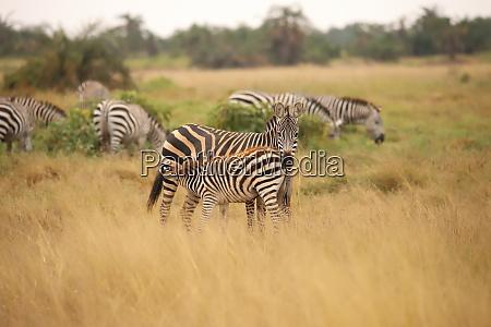 zebra with foal