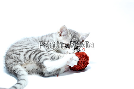 playing young cat with red wool