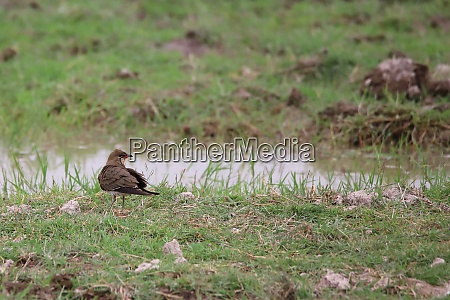 collared, pratincole, at, a, water, hole - 26858374
