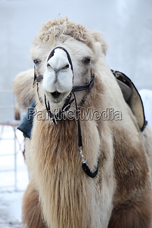 one camel with big fur