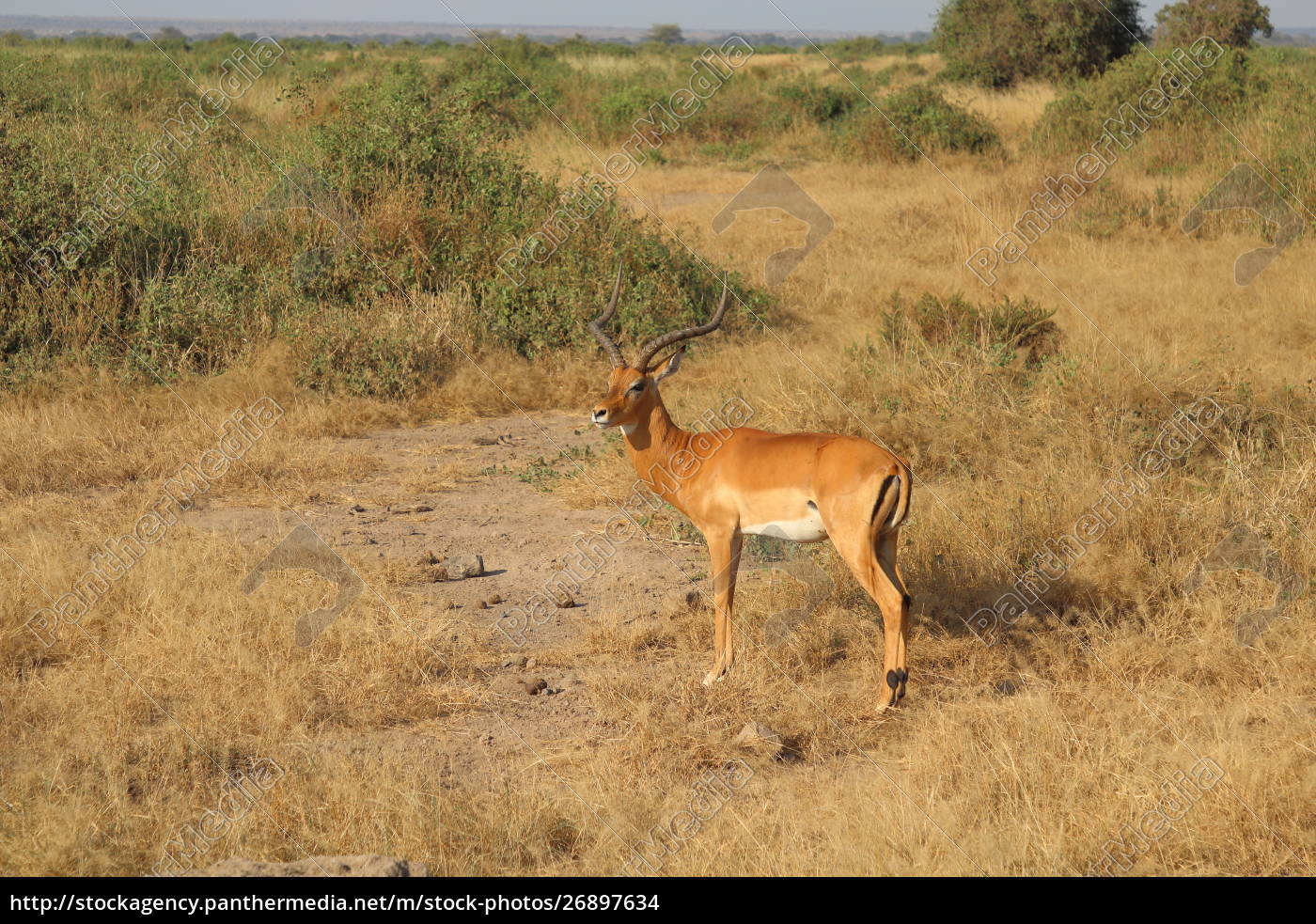 impala, in, the, savannah, of, amboseli - 26897634