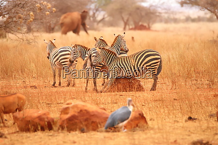 a zebra scratches its belly on