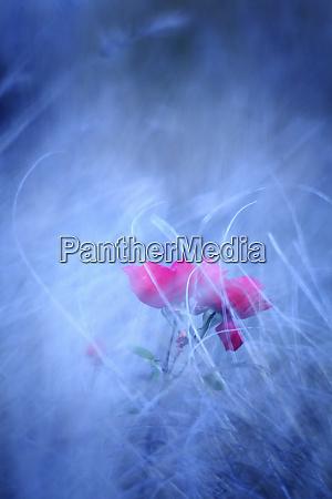 pink roser i sloret miljo