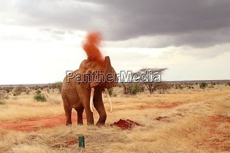 the mighty elephant takes a sand